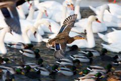 waterfowl by the river Stock Photos