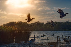 Waterfowl Scattering Into Lake Royalty Free Stock Photo