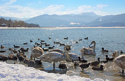 Waterfowl at tegernsee lakeshore with birds stock photography