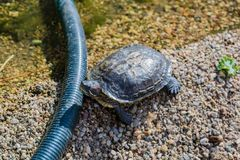 Marine waterfowl turtle Royalty Free Stock Image