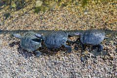 Marine waterfowl turtle Royalty Free Stock Images