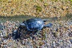 Marine waterfowl turtle Stock Photography