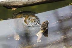 Waterfowl turtle Stock Photo
