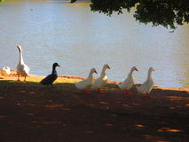 Waterfowl Royalty Free Stock Images