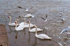 Waterfowl w schronieniu, łabędź kaczkach i seagulls w stawie z lodem w wczesnej wiośnie portowych, obraz stock
