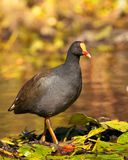 Waterfowl. A waterfowl wading through a pond Royalty Free Stock Photos