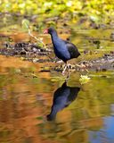 Waterfowl. A waterfowl wading through a pond, with its reflection seen in the water Stock Photo