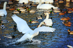 Waterfowl in winter Royalty Free Stock Image