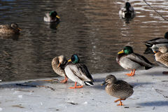 Waterfowl in Winter within Central Park. Ducks congregate within NYC's Central Park Stock Images