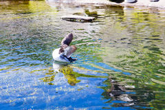 Waterfowl at Zoo in Water Royalty Free Stock Photography