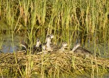 Waterhen Babies Royalty Free Stock Photography