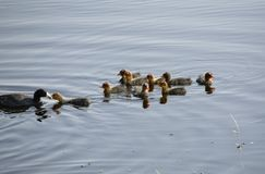 Waterhen Babies Royalty Free Stock Photo