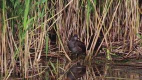 Waterhoen, Gallinula, die op loch verzorgen spynie, Schotland, augustus stock footage