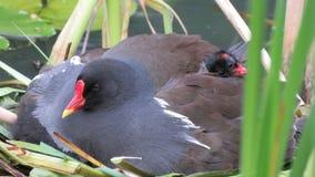 Waterhoenkuiken met moeder op nest Stock Fotografie