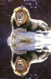 waterhold мужчины льва Стоковое фото RF