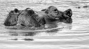 从waterhole的河马凝视 免版税库存图片