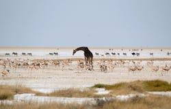 Waterhole με τη στρουθοκάμηλο, το με ραβδώσεις, giraffe και τη αντιδορκάδα Στοκ Φωτογραφία