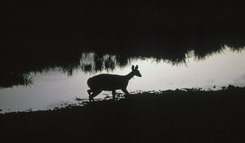 waterhole антилопы Стоковая Фотография RF
