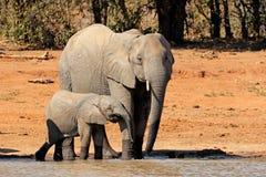 waterhole африканских слонов Стоковая Фотография
