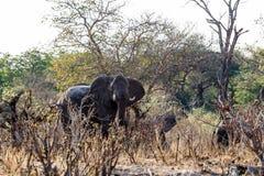 喝在一泥泞的waterhole的非洲大象牧群  免版税图库摄影