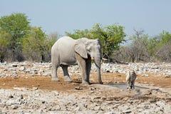 一头大大象在与羚羊属的一waterhole附近站立 免版税库存图片