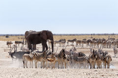Waterhole ammucchiato con gli elefanti, le zebre, l'antilope saltante e il orix Fotografia Stock