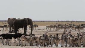 Waterhole ammucchiato con gli elefanti, le zebre, l'antilope saltante e il orix archivi video