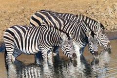 Waterhole de la cebra de los animales tres de la fauna fotografía de archivo libre de regalías