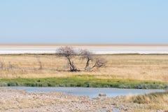 Waterhole, dead tree and the Etosha Pan Stock Images