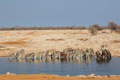 Waterhole di Etosha Fotografia Stock Libera da Diritti