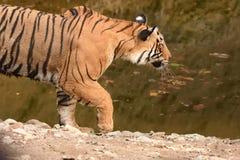 Waterhole en tijger die komen uit besluipen stock foto's