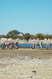 Waterhole in Etosha. Zebra and giraffe at a waterhole in Etosha, Namibie Royalty Free Stock Images