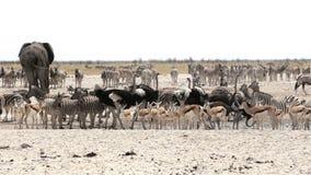 Waterhole in Etosha with many animals stock video