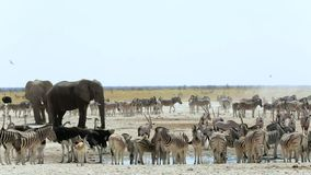 Waterhole in Etosha with many animals. Zebras, elephants, ostrich, springbok, oryx. Etosha national Park, Namibia stock footage