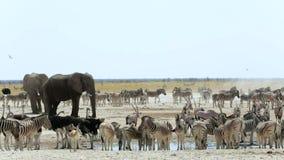 Waterhole in Etosha with many animals stock footage
