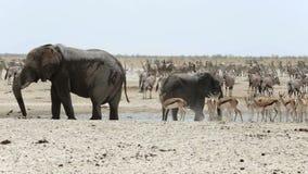 Waterhole in Etosha met vele dieren stock footage
