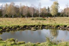Waterhole framme av en flock av nötkreatur Royaltyfria Foton