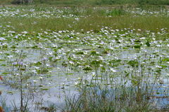 Waterhole  with  lilies. This  waterhole  lilies was  photographed  in   the  Kruger  National  Park in the rainy   season Royalty Free Stock Photography
