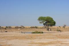 Waterhole med sebror i afrikansk savannah royaltyfria foton
