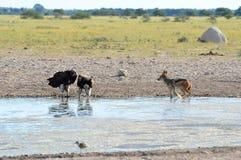 Waterhole na bandeja de Nxai, Botswana Imagens de Stock