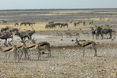 Waterhole in Namibia Royalty Free Stock Photos