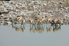 Waterhole in Namibia Stock Image
