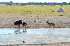 Waterhole in Nxai pan,Botswana Stock Images