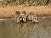 waterhole potable de warthogs Photo libre de droits