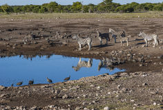 Waterhole sceny Etosha park narodowy Fotografia Royalty Free