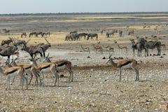 Waterhole w Namibia Zdjęcia Royalty Free