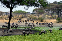 At the Waterhole Stock Images