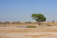 Waterhole with zebras in African savannah royalty free stock photos