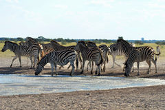 At the waterhole Royalty Free Stock Image