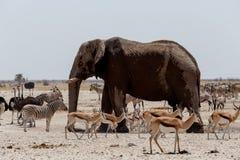 在泥泞的waterhole的动物交通在Etosha 库存照片
